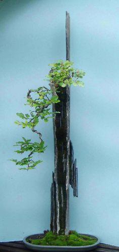 Award Winning Beech Tree Bonsai.....