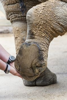 Foot health check on a white rhino at a UK zoo. Photo by Ann & Steve Toon, http://www.toonphoto.com/