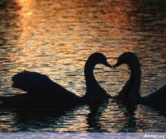 Swans ♥