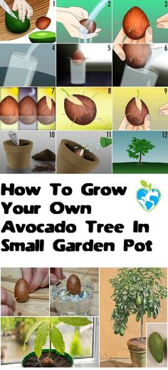 Hydroponic Gardening Ideas How To Grow Your Own Avocado Tree In Small Garden Pot Small Garden Pots, Small Gardens, Small Plants, Small Trees, Hydroponic Farming, Hydroponics, Growing Plants, Growing Vegetables, Diy Hydroponik