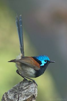 Male Red-winged Fairywren, Malurus elegens
