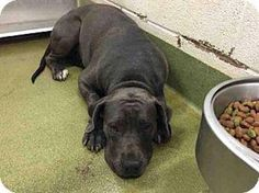CALIFORNIA, Moreno Valley. Owner abandoned 8 horribly despondent black Labs - one already killed. Please share -- it's the only chance these dogs have to get out of the shelter alive. ID# A451070, A451071, A451072, A451073, A451074, A451075, A451076, A451077 https://www.facebook.com/photo.php?fbid=669646549832419&set=a.118132861650460.19466.100003612410268&type=1&theater