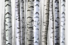 Birch Tree Wallpaper featuring close-up of slim Birch Tree trunks in foreground and backkground. Choose your mural size and material.