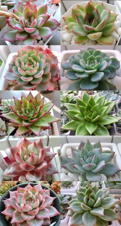 Propagating Succulents, Cacti And Succulents, Planting Succulents, Cactus Planta, Cactus Y Suculentas, Different Types Of Succulents, Succulent Species, Hardy Plants, Polymer Clay Flowers