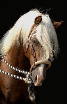 Palomino Morgan stallion in a hackamore - 'Gab Creek Golden Vaquero' (photo by Laura Behning) Most Beautiful Animals, Beautiful Horses, Beautiful Creatures, Hello Beautiful, Horse Photos, Horse Pictures, Especie Animal, Morgan Horse, Majestic Horse