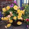 Verzorging begonia's : begonia als kamerplant Nerium, Begonia, Floral Wreath, Wreaths, Plants, Gardens, Flower Crowns, Door Wreaths, Flora