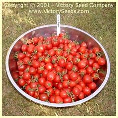 Principe Borghese Tomato - 75 days, determinate (Victory). Italian heirloom very popular for splitting in half and sun drying.