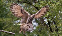 500px / Owl by Nicholas Robinson