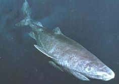 The Greenland Shark is the oldest known shark in the world - Whale Sharks Spiny Dogfish Great White 70 yrs; Sea Shark, Shark Diving, Shark Pictures, Animal Pictures, Discovery Shark Week, Cool Sea Creatures, Greenland Shark, Leopard Shark, All Sharks