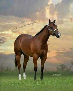 AQHA horse CUARTER MILLA Apha champion