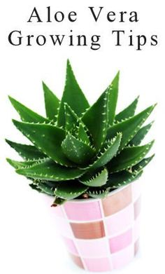 Aloe Vera Plant Growing & Usage Tips : TipNut.com