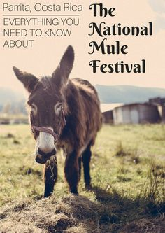 Unique Things To Do In Costa Rica: The National Mule Festival