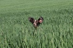 an English Springer Spaniel in a field. Stock Photo - 10423440