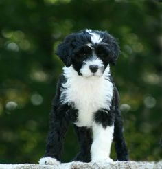 black and white portuguese water dog - Google Search