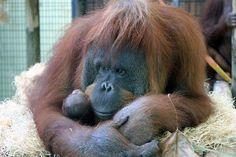 Una cría de orangután nacida el Zoo de Barcelona y cuyo nombre se elegirá mediante una votación popular. (EFE). Más fotografías: http://hd.clarin.com/tagged/El-D%C3%ADa-en-Fotos