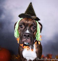 Shocks photography is a Washington State Pet Photographer, who captures beautiful dog portraits.   #dogphotos #dogphotography #petphotograprhy #Halloween #adorabledogs #fall #pumpkin