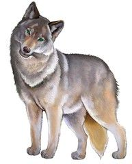 Illustration Of Cute Standing Gray Wolf On The White Background
