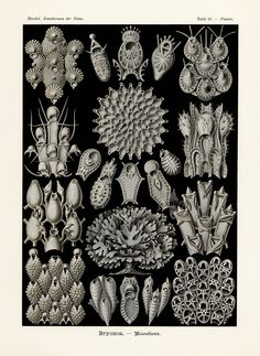 Bryozoa from Haeckel Antique Prints 1899