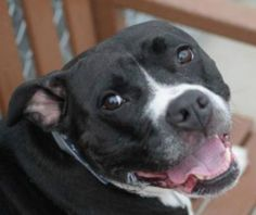 Meet Jameson, an adoptable Pit Bull Terrier looking for a forever home. If you're looking for a new pet to adopt or want information on how to get involved with adoptable pets, Petfinder.com is a great resource.