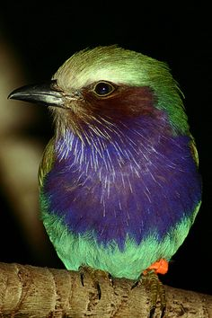Lilac-breasted Roller (by MNesterpics). I am in awe at the beautiful, bright majestic colors <3.