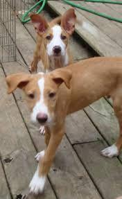 Afbeeldingsresultaat voor podengo portugues puppies