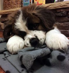 17 Puppy Faces You Actually Cannot Resist Kissing Cute Puppies, Cute Dogs, Dogs And Puppies, Doggies, Puppy Pictures, Cute Pictures, Cute Baby Animals, Animals And Pets, St Bernard Puppy