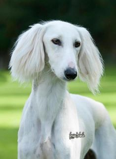 Saluki Dog Puppy Dogs Puppies Pup