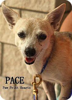Tampa, FL - Chihuahua/Dachshund Mix. Meet Pace, a dog for adoption. http://www.adoptapet.com/pet/11577129-tampa-florida-chihuahua-mix