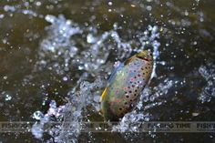 Wild trout (Gothárd Ferenc)