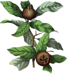 This is a nice Botanical Medlar Fruit Image! Featured here is a lovely picture of some brown looking Fruit on a branch full of bright Green Leaves Botanical Illustration, Botanical Prints, Botanical Gardens, Vegetable Illustration, Fruits Images, Graphics Fairy, Landscaping With Rocks, Nature Pictures, Vintage Flowers