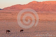 Photo about The Namib Desert Horse is a rare feral horse found in the Namib Desert of Namibia, Africa. Image of panorama, namib, landscape - 74289610 Namib Desert, Wild Horses, Monument Valley, Africa, Stock Photos, Landscape, Nature, Image, Naturaleza