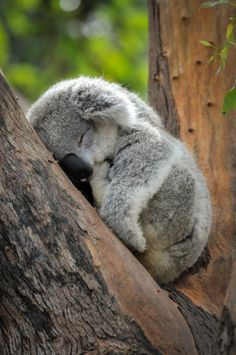 Baby Koala Wild animals are less wild and more human than many humans of this world. Cute Funny Animals, Cute Baby Animals, Funny Koala, Koala Baby, Baby Otters, The Animals, Wild Animals, Sleeping Animals, Photo Animaliere