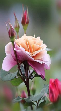 A beautiful flower for you my sweet darling Vylette Moon 🌺 I imagine it& Flores Bonitas de Papel Dibujo 💐 Flowers Nature, Exotic Flowers, Amazing Flowers, Love Flowers, Fall Flowers, Flowers Garden, Fresh Flowers, Pretty Roses, Beautiful Roses