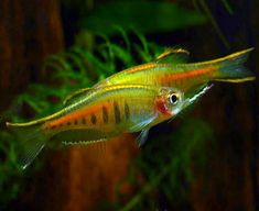 Fill your aquarium with Freshwater Pond Fish for Sale from Arizona Aquatic Gardens, we carry a wide variety, including the Glowlight Danio Danio choprai Tropical Freshwater Fish, Freshwater Aquarium Fish, Tropical Fish, Ocean Aquarium, Planted Aquarium, Nature Aquarium, Aquarium Ideas, Aquariums, Danio Fish