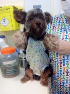 Roupa pós cirúrgica para pequenos cães e gatos!