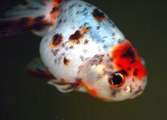 Calico Ranchu Goldfish Ryukin Goldfish, Comet Goldfish, Goldfish Species, Sunken Eyes, Golden Fish, Types Of Gold, Fish Finder, Small Ponds, Water Life