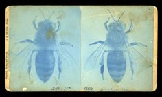 Cyanotype stereoview of a worker bee (15 September 1884) – J.A. Nelson #cyanotype #workerbee