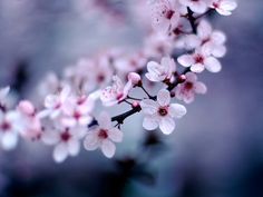 I simple love cherry blossoms.