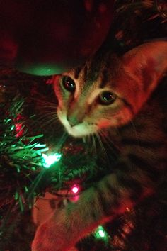 My Cat in the Christmas Tree.