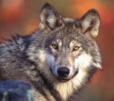 """""""To look into the eyes of a wolf is to see your own soul—hope you like what you see."""" Aldo Leopold"""