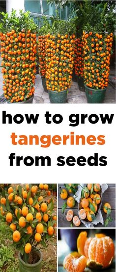Gardening For Beginners The tangerine is undoubtedly one of the tastiest citric fruits and that's why many people like it so much. It possesses an exquisite flavor and an amazing aroma that makes it irresistible. Citric Fruits, Organic Gardening Tips, Gardening From Seeds, Growing Plants From Seeds, Growing Tomatoes From Seed, How To Grow Seeds, Grow From Seed, Plants To Grow Indoors, How To Grow Tomatoes