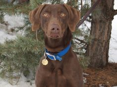Petfinder  Adoptable | Dog | Weimaraner | Deerfield, IL | Mack