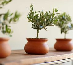 Olive Topiary Tree: As ancient as the rugged hills of Crete, olive trees transcend time and place. Fruit-bearing miniature topiaries display their unrivaled silver-green foliage in terra- cotta pots that seem to have been excavated at Heraklion.