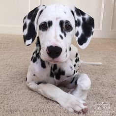 """From @Jackson_the_Dalmatian: """"""""Being cute is what I do best."""" - Jackson"""" #cutepetclub"""