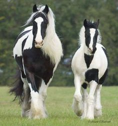 Cute pair of black and white horses.