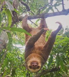 We've decided we're going to be sloths from now Zoo Animals, Cute Baby Animals, Animals And Pets, Funny Animals, Cute Sloth Pictures, Two Toed Sloth, Cute Baby Sloths, Watercolor Paintings Of Animals, Mundo Animal