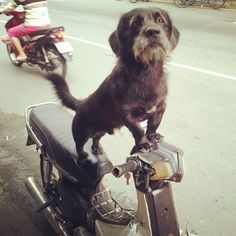 Dogs on bikes, a common site in this part of the world. Ho Chi Minh City, Dogs, Instagram, Pet Dogs, Doggies