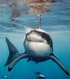 Ce requin blanc terrorise tous les autres mammifères marins (Crédit photo : National Geographic)