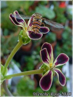 P.glausiifolium