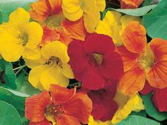 Nasturtiums.....My very most favorite!